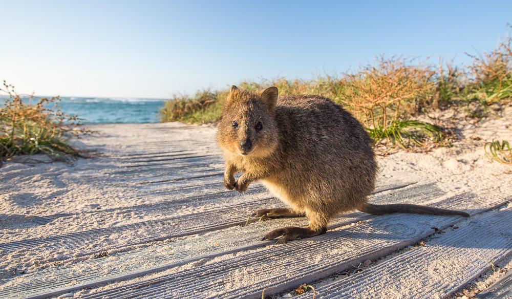 Wildlife on Rottnest Island
