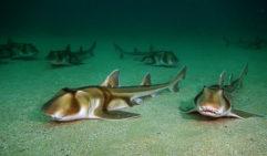 Port Jackson sharks frequent the islands around Bare Island (photo: John Turnbull).