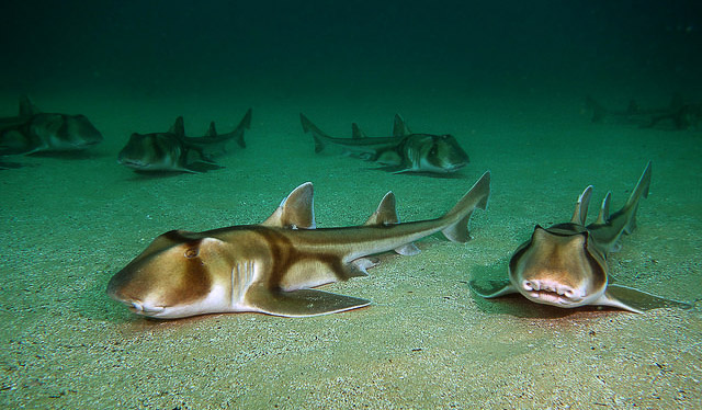 Port Jackson sharks frequent the islands around Bare Island (photo: John Turnbull).