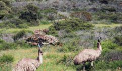 Emus rule the roost in Innes National Park, South Australia (photo: Michael Wee).