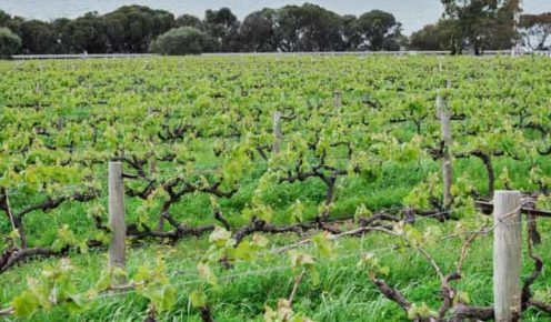 The lush vines at Boston Bay Wines, Port Lincoln (photo: Michael Wee).