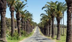 The famous 'Palm Avenue' leading to Seppeltsfield in Barossa (photo: Leigh Griffiths).