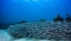 Striped Catfish, Cabbage Tree Bay (Photo: Peter McGee  / Goodviz photography).
