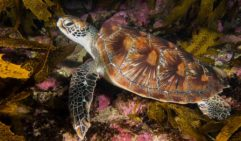 A snorkel's eye's view of a turtle, Cabbage Tree Bay (photo: Peter McGee  / Goodviz photography).