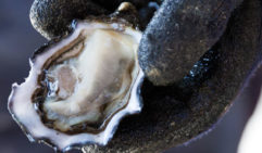 A freshly shucked Bruny special (photo: Peter Tarasiuk).
