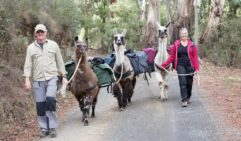 The Llamas make for incredibly good pack animals. Hanging Rock, Vic (photos: Jocelyn Pride).