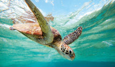 A beautiful turtle at Bundaberg