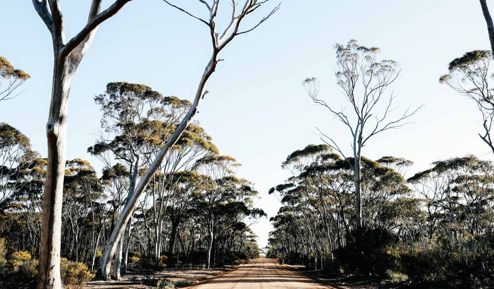 Grey gum trees line a dirt road from Wave Rock to the Humps in WA (photo: Elise Hassey).