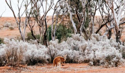 Kangaroo spotted on the way to Kalgoorlie, WA (photo: Elise Hassey).