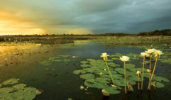 Straight out of a painting; exquisite lilies on Yellow Water Billabong against a bruised grey sky (photo: Paul Arnold).