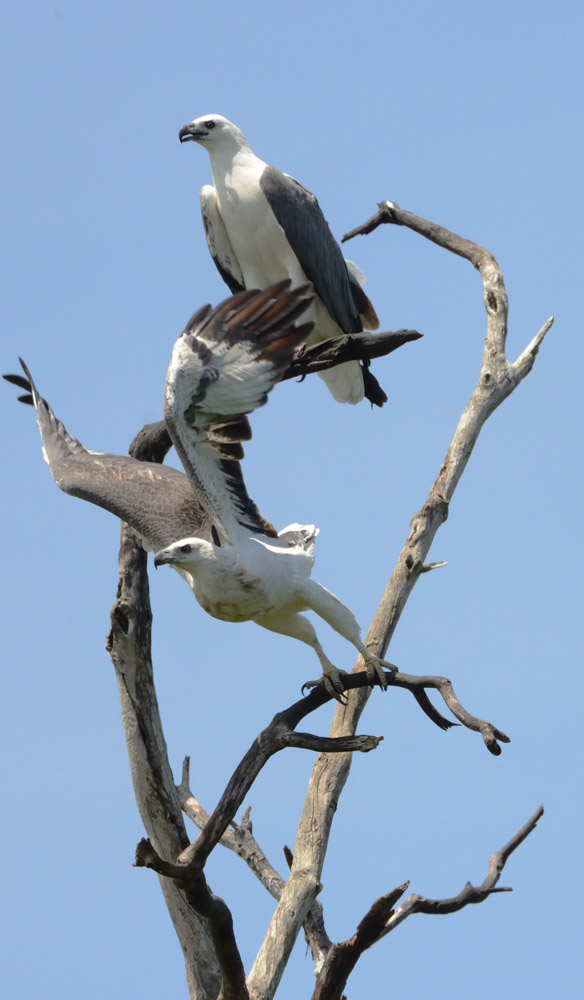 You might be lucky enough to spot these sea eagles on a visit to Kakadu National Park.