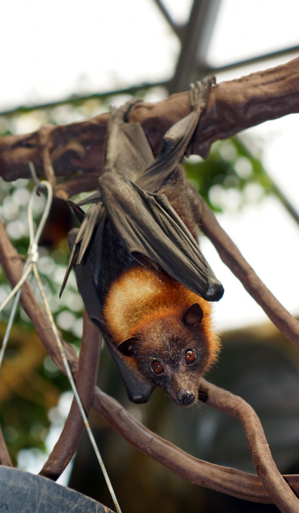 This little red flying fox lives in a colony at Elsey National Park just south of Mataranka.