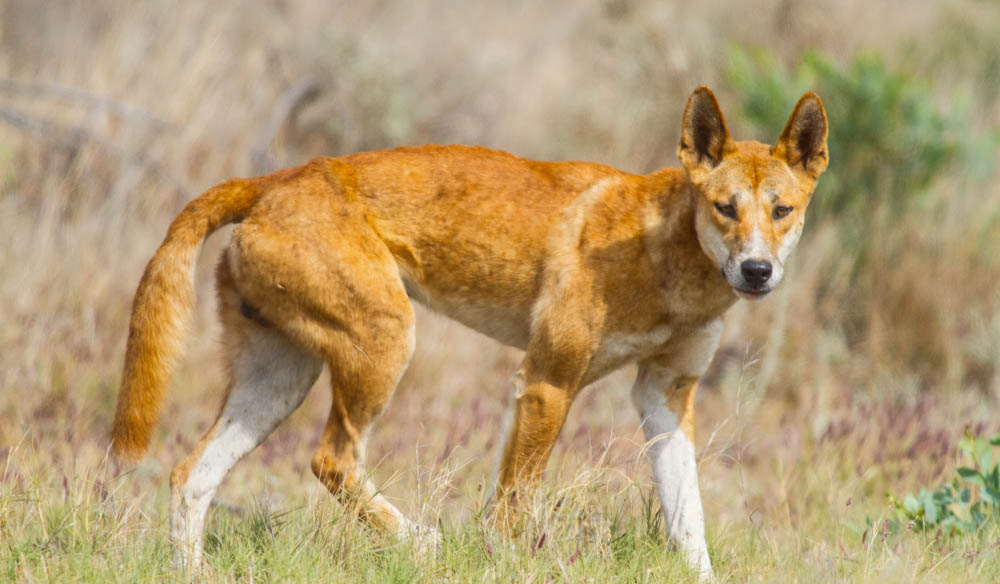 A dingo stalks through the grasslands of Ormiston Gorge, West MacDonnell Ranges, Alice Springs.