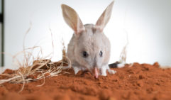 The greater Bilby is the last surviving species of arid bandicoot we have left here in Australia.