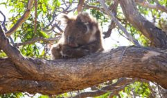 Koalas in Mikkira Station 30 kilometres south-east of Port Lincoln.