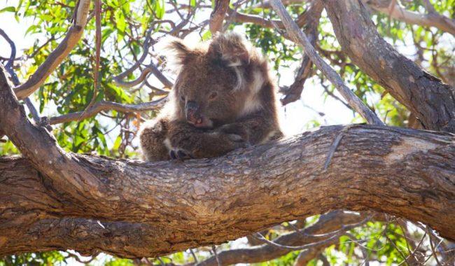 Mikkira Station manna gums koalas