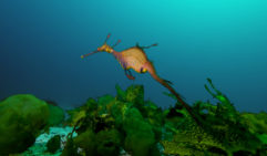 Weedy sea dragon (Phyllopteryx Taeniolatus), taken at La Perouse, Port Botany, Sydney, NSW.