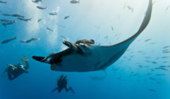 Who knew that the best place to swim with Mantas was just off the coast of Brisbane, Queensland.
