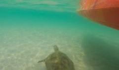 Kayak out to see turtles (and often dolphins) with Epic Ocean Adventures, Rainbow Beach.