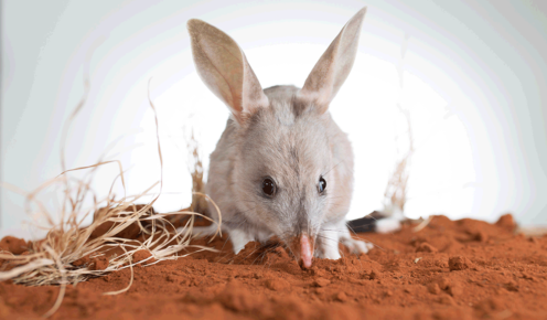 The Bilby and its ancestors have been around for about 25 million years and humans have all but wiped them out in 200 years.