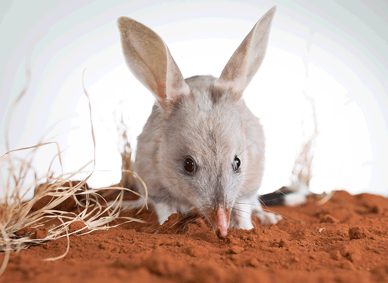 Queensland Bilby Save bandicoot
