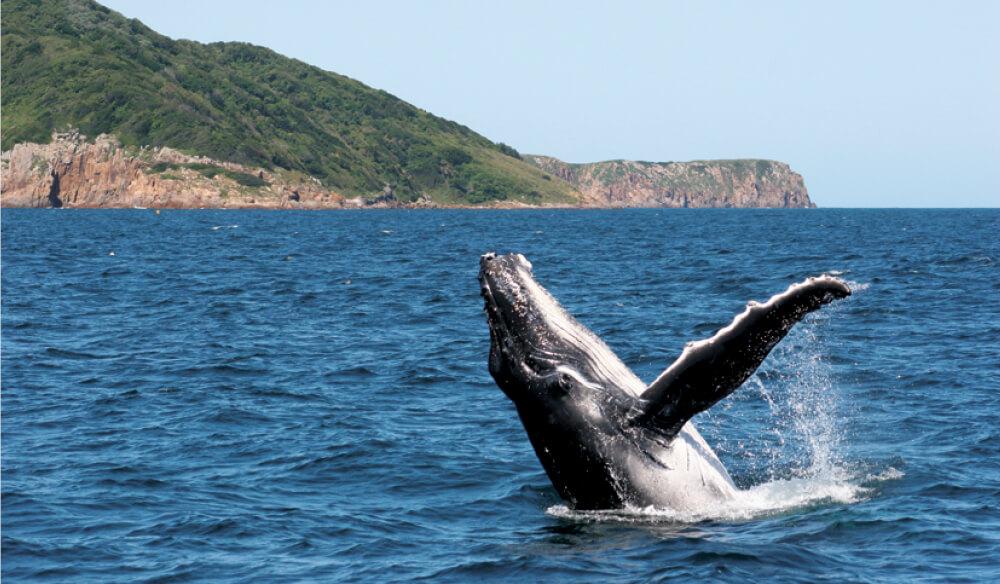 Humpback whale, Port Stephens