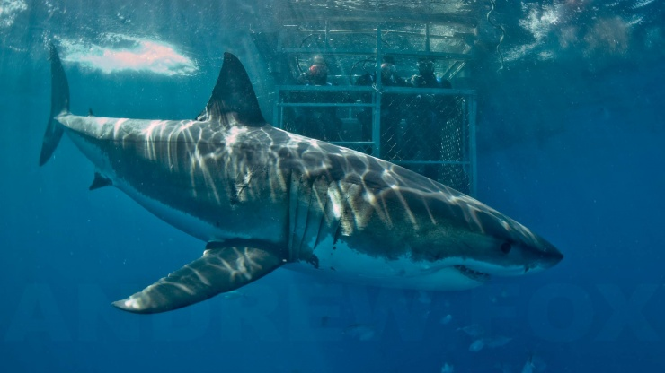Cage diving with Great Whites. Image via rodneyfox.com.au