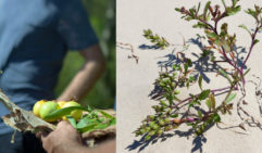 From right to left: Returning to the roots of our hunter, gathering nature. A few sprigs of foraged sea rocket, which is found on the beach (photo: Demtre Minchev).