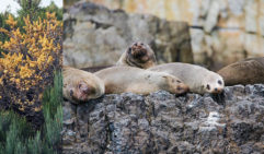 Colonies of Australian and New Zealand fur seals live on the rocky shores of Tasman Island (photo: Tasmania Parks and Wildlife Service).
