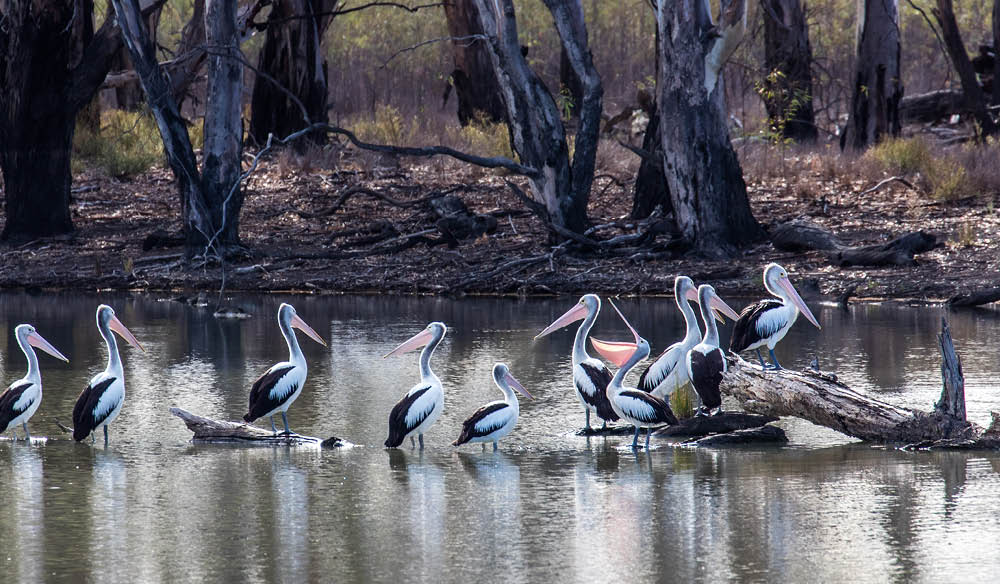 Logging on: A colony of pelicans, Calperum Station, Murray River.