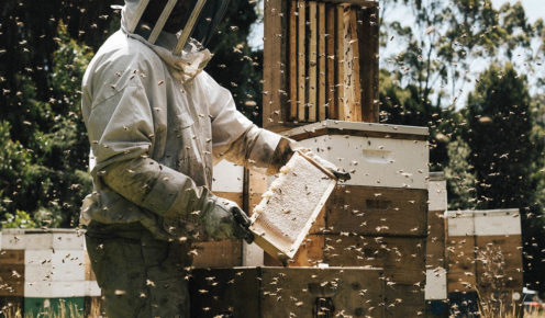 A Tasmanian Honey Company beekeeper inspecting hives in the Tasmania wilderness between Tullah and Queenstown (photo: Brook James).