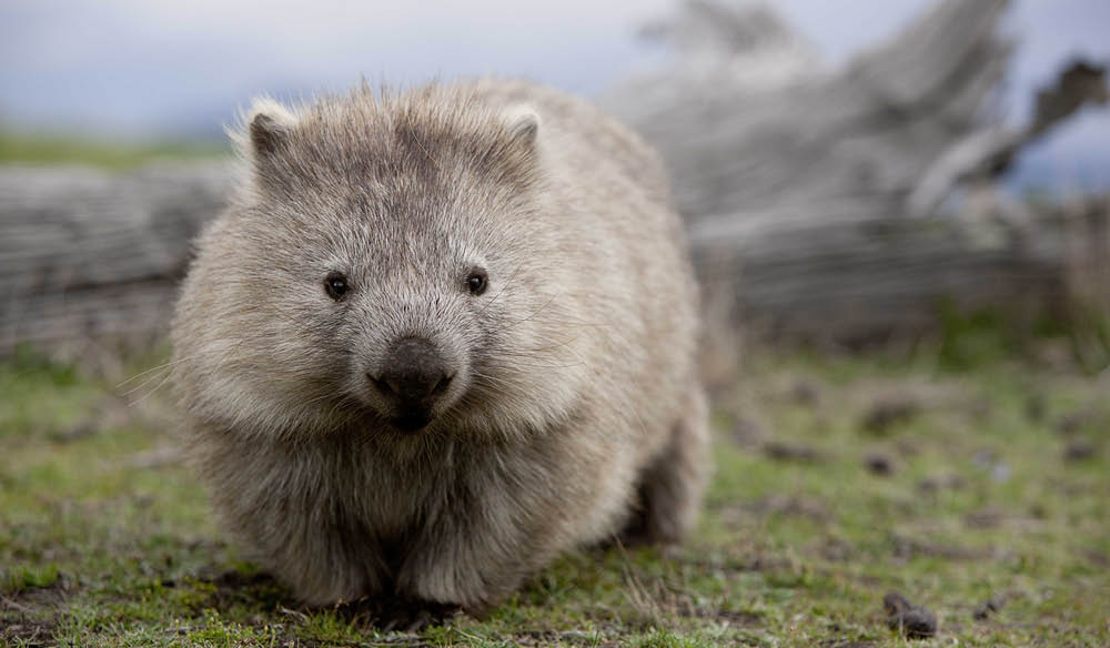 The wombat, unofficial mascot of Tassie's Noah's Ark: Maria Island.