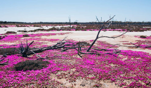 Wildflower season in Western Australia signals springtime and the arrival of nature's haute couture.