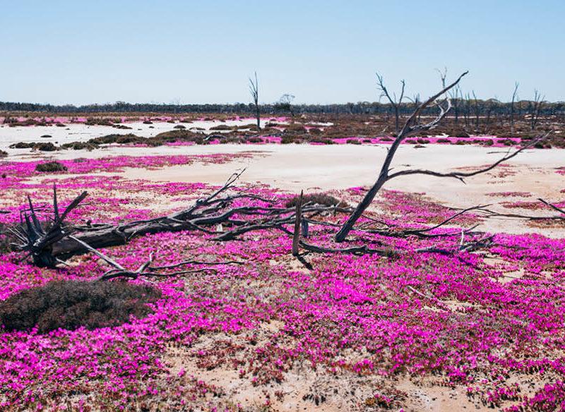 Flora flowers season bloom wa native plants