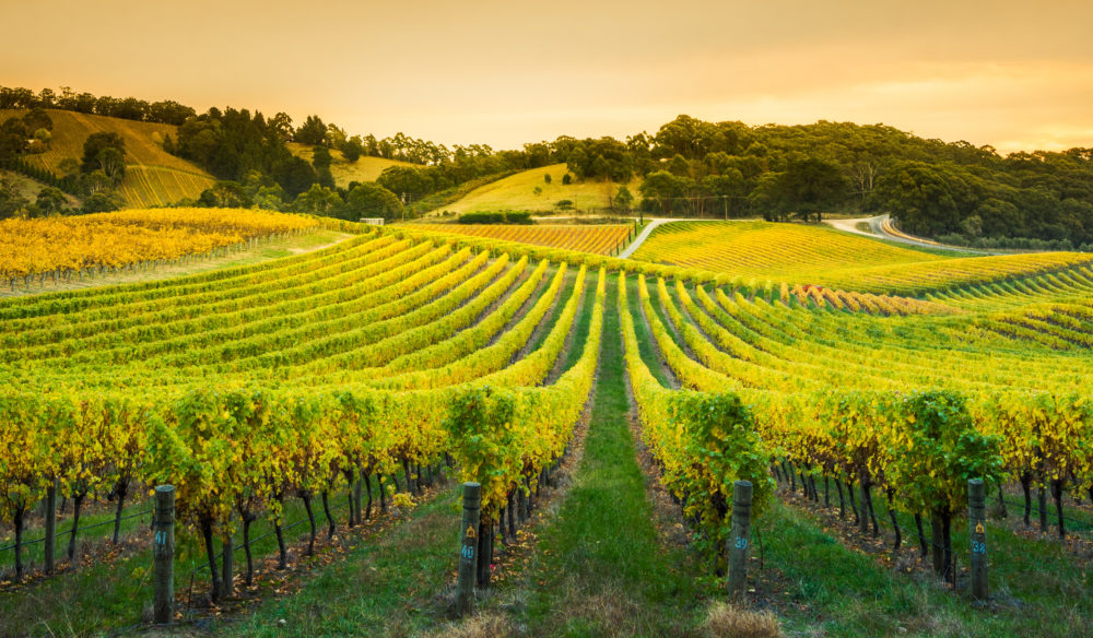 Expansive vineyard in the Adelaide Hills