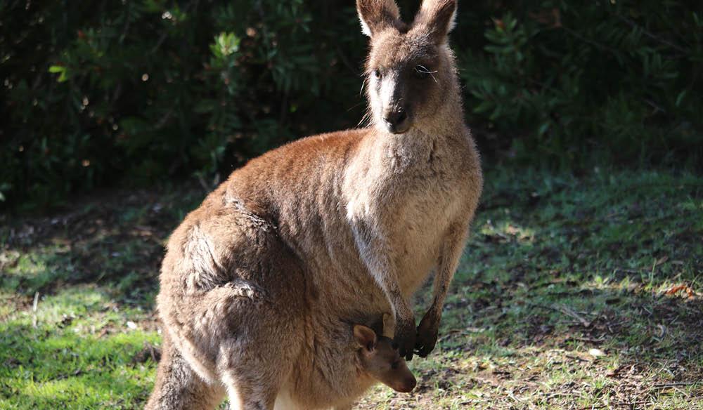 Kangaroo on alert