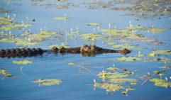 An Arnhem Land crocodile lurks in the shallows (photo: Getty Images).