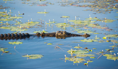 An Arnhem Land crocodile lurks in the shallows (photo: Getty Images).