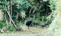 Take your time, cross your fingers and you just might bump into a cassowary around Mission Beach (photo: Elise Hassey).