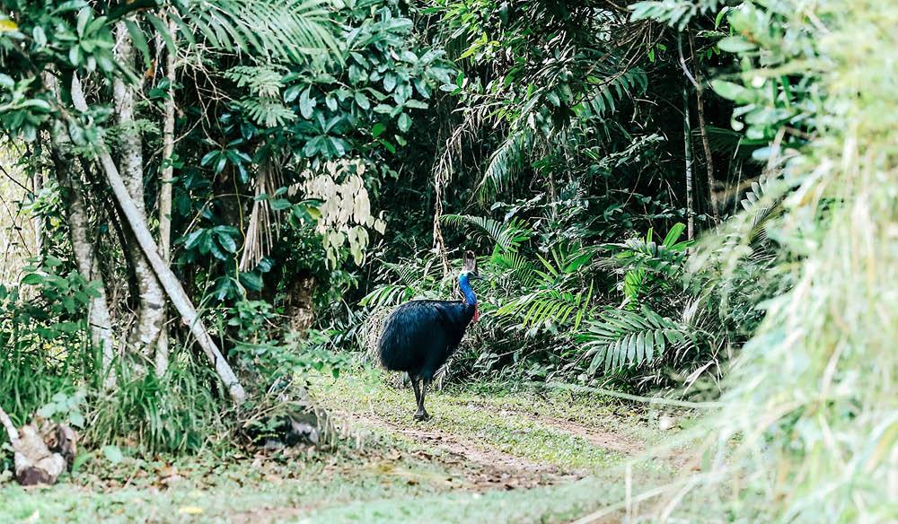 Cassowary Mission Beach rainforest