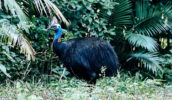 Cassowary Mission Beach rain forest far north Queensland