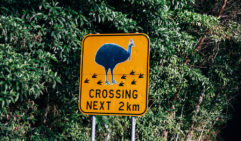 The roads around Mission Beach are full of comical cassowary crossing signs. However,  the serious reality is that too many are still being run over (photo: Elise Hassey).