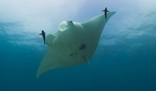 With a simple underwater camera, you can help monitor manta ray numbers to help out the University of Queensland's Project Manta (photo: Kara Murphy).