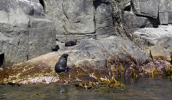 Long-nosed fur seals among bull kelp, Tasman Peninsula (photo: Jennifer Ennion).