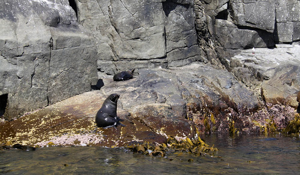 Long-nosed Australian fur seals Tasmania kelp forests