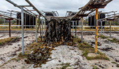 Drying bull kelp; harvested mostly for use in fertilisers and food (photo: Andrew Wilson).