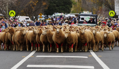 During Festival of the Fleeces, Merriwa proudly wears its agricultural heritage on its woolly sleave (each June long weekend).