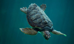 Loggerhead experience turtle bundaberg queensland viewing Mon repos