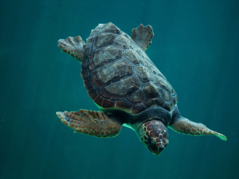 Loggerhead experience turtle bundaberg queensland viewing Mon repos