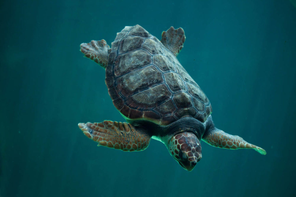Loggerhead turtles hatched at Mon Repos, near Bundaberg, can roam the oceans for more than 50 years.